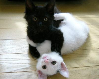 gatti-bianco-e-nero